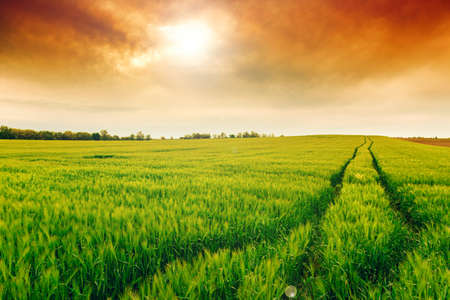 green wheat: Wheat field landscape with path in summer-Hungary