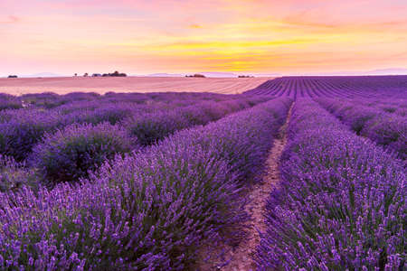 herbs de provence: Beautiful landscape of lavender fields at sunset near Valensole, Provence-France Stock Photo