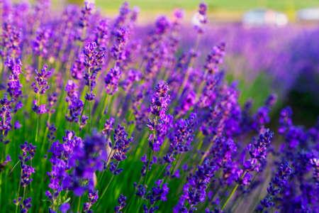 lavendin: Violet lavender field in Provence, France