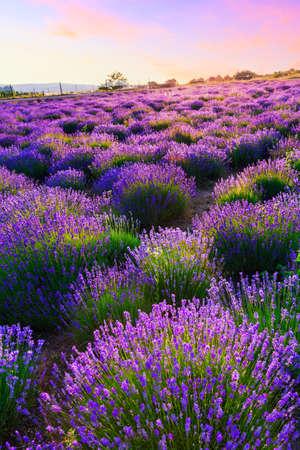 Sun flower: Sonnenuntergang über ein Sommer Lavendel-Feld in Tihany, Ungarn Lizenzfreie Bilder