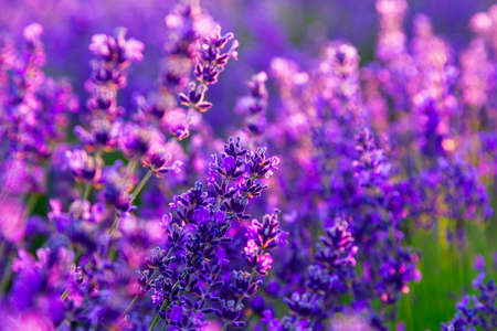 Violettes Lavendelfeld in Provence, Frankreich Standard-Bild - 55023649