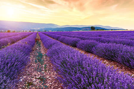 lavande: Beautiful landscape of lavender fields at sunset near Sault, Provence-France