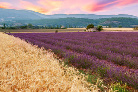 lavendin: Beautiful landscape of lavender and wheat fields at sunset near Sault, Provence-France Stock Photo