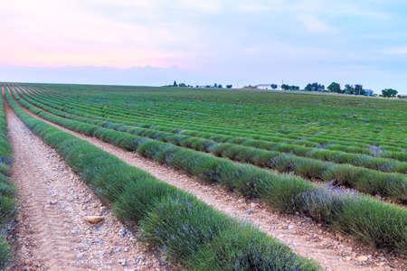 lavendin: Lavender field harvest near Valensole.Provence.France Stock Photo