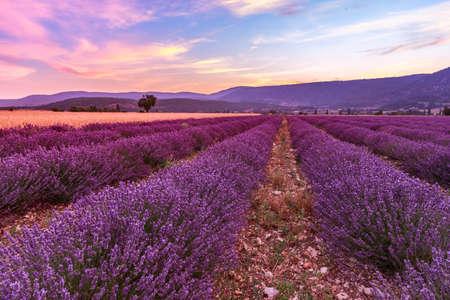 lavendin: Beautiful landscape of lavender fields at sunset near Sault, Provence-France