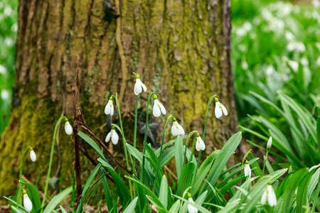 nivalis: Spring snowdrop (Galanthus nivalis) flowers blooming in forest in Hungary