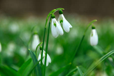 galanthus: Spring snowdrop (Galanthus nivalis) flowers blooming in forest in Hungary