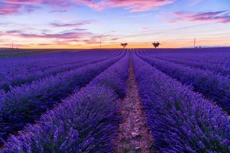 lavendin: Lavender field summer landscape near Valensole.Provence,France