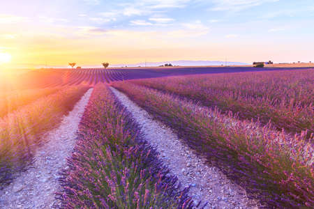 lavendin: Beautiful sunset lavender field summer landscape near Valensole.Provence,France