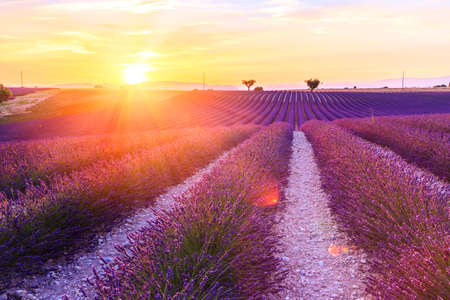 lavendin: Beautiful sunset lavender field summer landscape near Valensole.Provence,France