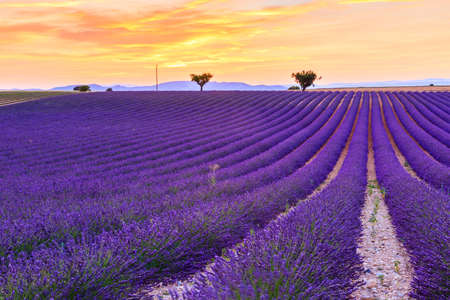 lavendin: Lavender field summer sunset landscape with two tree near Valensole.Provence,France Stock Photo