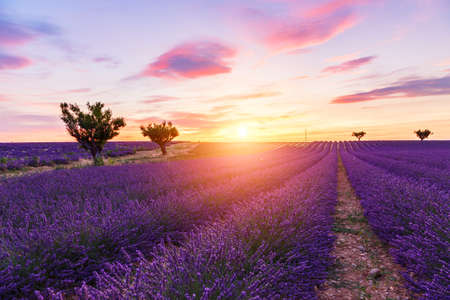 lavande: Lavender field summer sunset landscape with two tree near Valensole.Provence,France Stock Photo