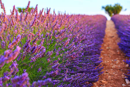 Lavender rows near Valensole, Provance. France