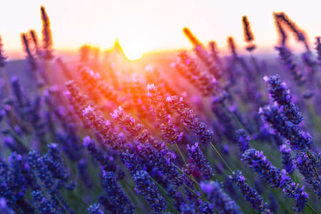 lavendin: Sunset over a violet lavender field in Provence, France Stock Photo
