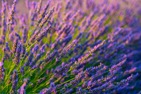 lavendin: Botanical background of blooming purple lavender herb