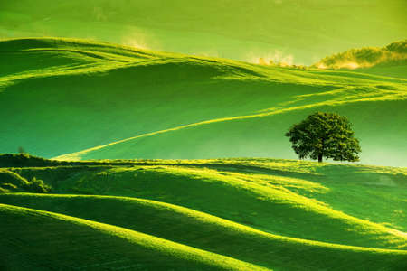 friendless: Waves hills, lonely tree, minimalistic landscape with green fields in the Tuscany. Italy