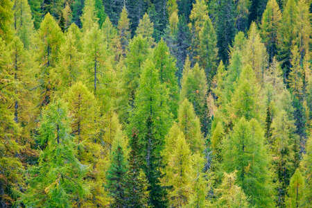 Aerial view of huge green healthy pine forest in Dolomites Alps, Italy
