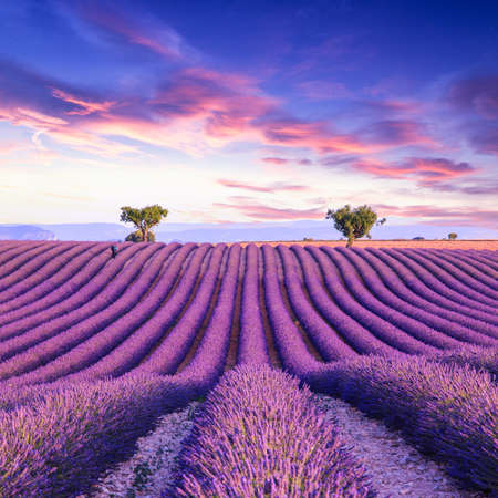 Lavender field summer sunset landscape with two tree near Valensole.Provence,France Imagens