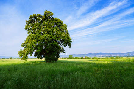vaucluse: A lone tree in a green field near in Valensole.Provence,France.