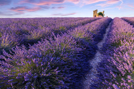 lavendin: A lonely house standing in a lavender field in Valensole.Provence,France.