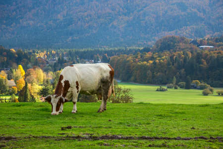 bohinj: Idyllic autumn landscape in the Alps with cow grazing on fresh green mountain pastures