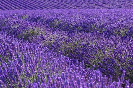 Campo estivo di lavanda paesaggio vicino Valensole.Provence, Francia Archivio Fotografico - 72295887