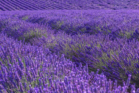 Valensole.Provence, 프랑스 근처 라벤더 필드 여름 풍경 스톡 콘텐츠