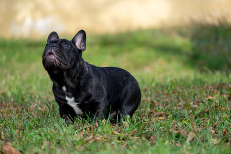 The cute French Bulldog in autumn outdoor grass Stock Photo