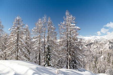 Winter landscape with fir trees in Julia Alps is Slovenia