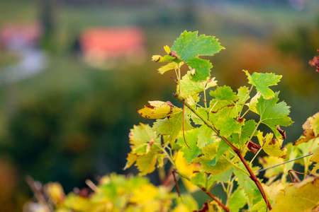 colors of vineyard in autumn in Slovenia close to the border with Austria south Foto de archivo - 133552296