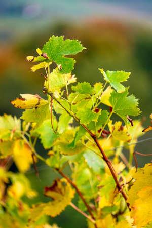 colors of vineyard in autumn in Slovenia close to the border with Austria south Foto de archivo - 133552297