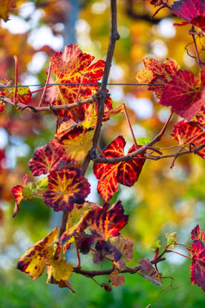 Colors of vineyard in autumn in Slovenia close to the border with Austria south Foto de archivo - 133552298
