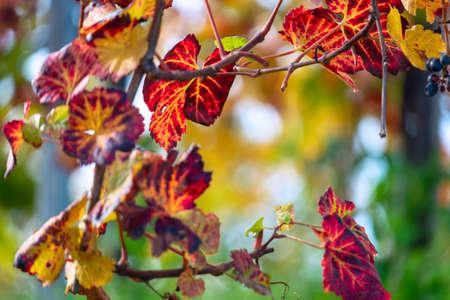 Colors of vineyard in autumn in Slovenia close to the border with Austria south Foto de archivo - 133552299