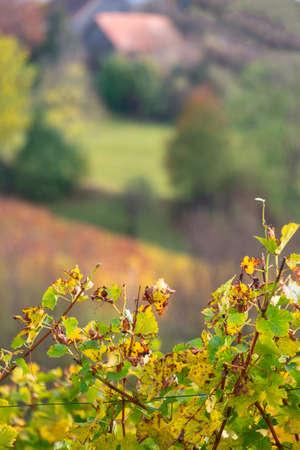 colors of vineyard in autumn in Slovenia close to the border with Austria south Foto de archivo - 133552307
