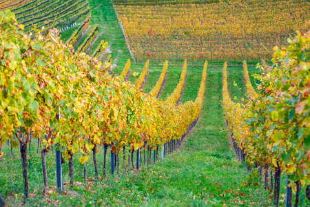 colors of vineyard in autumn in Slovenia close to the border with Austria south Foto de archivo - 133552400