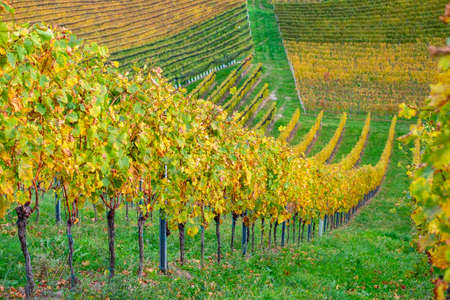 colors of vineyard in autumn in Slovenia close to the border with Austria south Foto de archivo - 133552402
