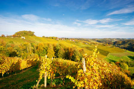 Vineyards in autumn in Slovenia close to the border with Austria south styria.