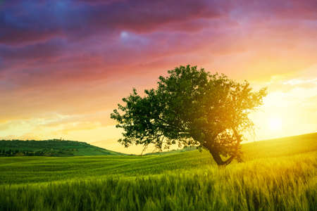 Alone tree on spring meadow at sunrise with  sun in Tuscany-Italy