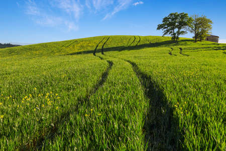 Green wheat hillside field with long shadows in Tuscany, Italy Standard-Bild