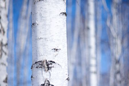 winter birch tree forest, the environmental background photo