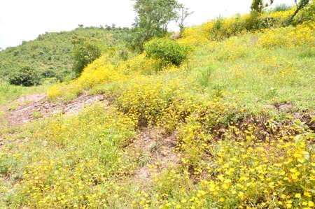ethiopian: Beautiful Bidens macroptera (Adey Abeba) on the Ethiopian highlands