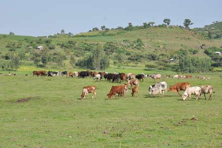 coptic orthodox: Cows in the field ruminating, Gondar, Ethiopia Stock Photo