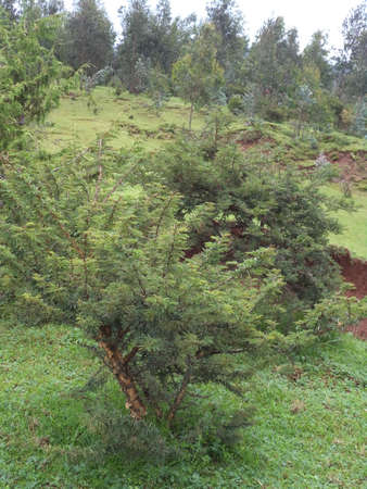 Entoto Jungle of Addis Ababa