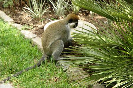 An ape in a garden Stock Photo