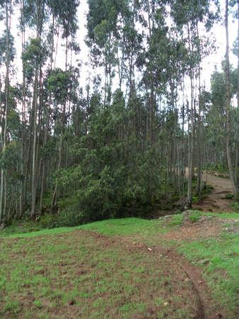 Eucalyptus forest on Entoto Mountain, Ethiopia