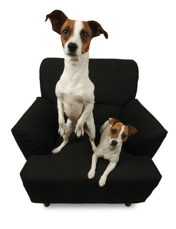 animal related: Two Jack Russell Terriers sitting on a black chair isolated on a white background.