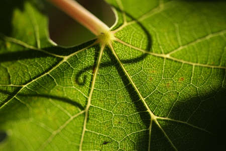 viticulture: Beautiful Grape Leaf In the Morning Sun with Curly Vine Silhouette. Stock Photo
