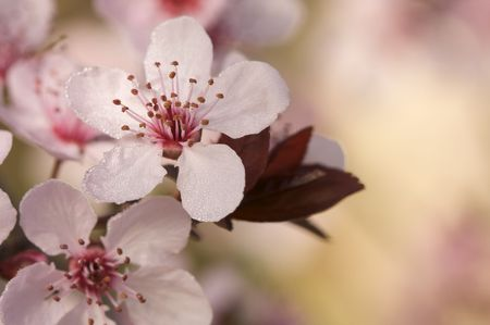 early blossoms: Early Spring Pink Tree Blossoms and Dew Drops with Narrow Depth of Field. Stock Photo