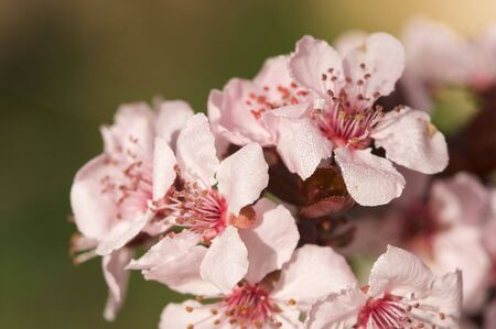 Early Spring Pink Tree Blossoms and Dew Drops with Narrow Depth of Field. photo