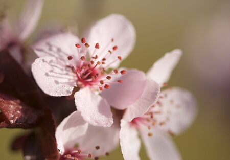 Early Spring Pink Tree Blossoms and Dew Drops with Narrow Depth of Field. Stock Photo - 2629967